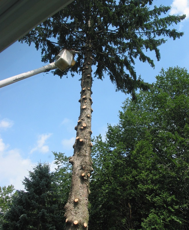 Pine Tree Removal in East Hartford, Connecticut, CT